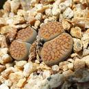 Image of <i>Lithops verruculosa</i> Nel