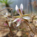 Image of <i>Pelargonium alternans</i> Wendl.