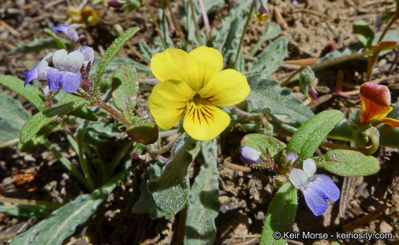 Image of goosefoot yellow violet