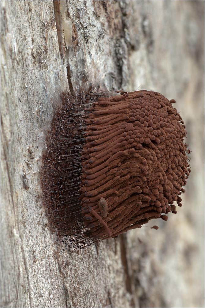 Image of <i>Stemonitis flavogenita</i>