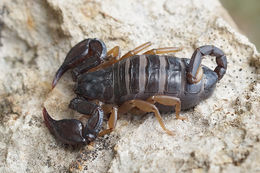 Image of Small wood-scorpions