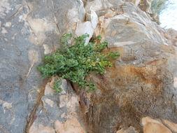 Image of Pennsylvania pellitory