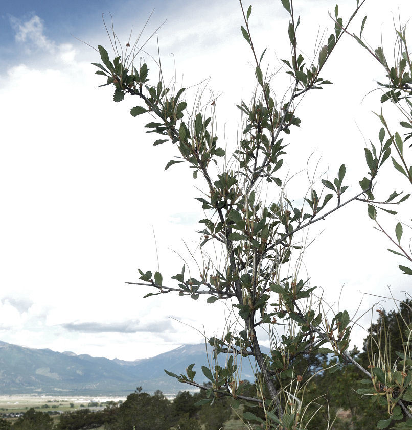Image of alderleaf mountain mahogany