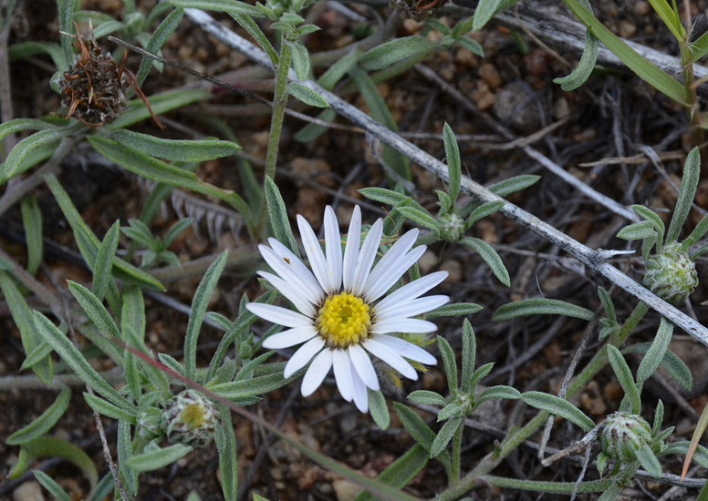 Image of Fendler's Townsend daisy