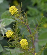 Image of mountain tansymustard