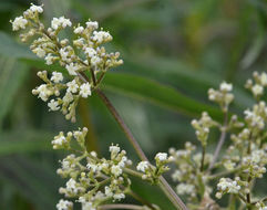 Image of edible valerian