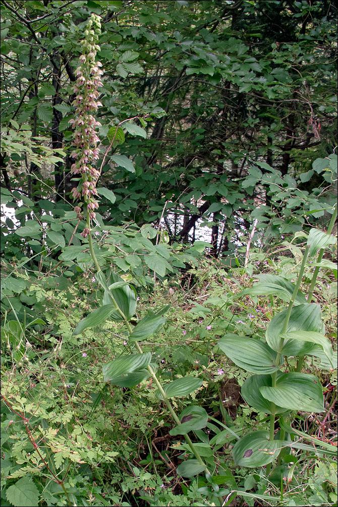 Image of <i>Epipactis helleborine</i> ssp. <i>orbicularis</i> (K. Richt.) E. Klein
