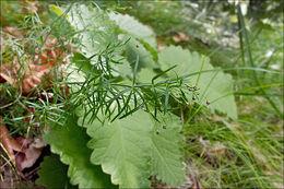 Image of <i>Asperula purpurea</i> (L.) Ehrend.