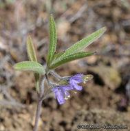 Image of smallflower bluecurls
