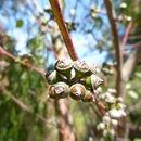 Image of <i>Eucalyptus infera</i> A. R. Bean
