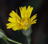 Image of Bolander's hawkweed