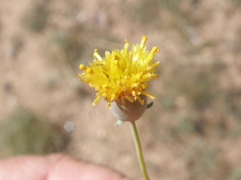 Image of Hopi tea greenthread