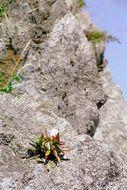 Image of <i>Orostachys iwarenge</i> (Makino) Hara