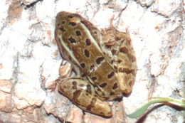 Image of Rio Grande Leopard Frog
