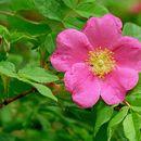Image of Amur rose