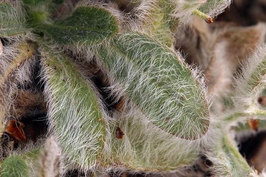 Image of prickly hawkweed