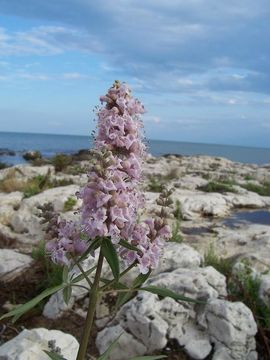Image of lilac chastetree