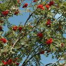 Image of <i>Sorbus aucuparia</i> ssp. <i>glabrata</i>