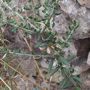 Image of <i>Olea europaea</i> var. <i>sylvestris</i>