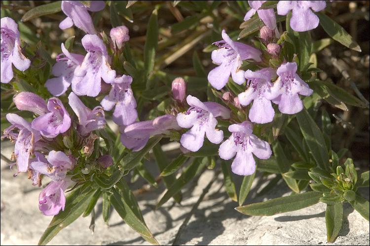 Image of <i>Satureja subspicata</i> ssp. <i>liburnica</i>