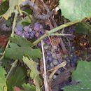 Image of wine grape