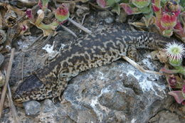 Image of Island night lizard