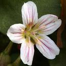 Image of Sierra springbeauty