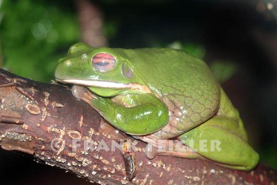 Image of Australian Giant Treefrog