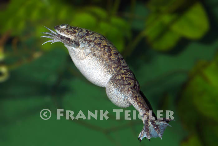 Image of African clawed frog