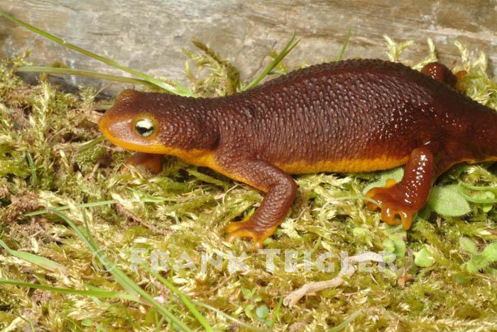 Image of Rough-skinned Newt