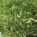 Image of Perennial Wild Arugula