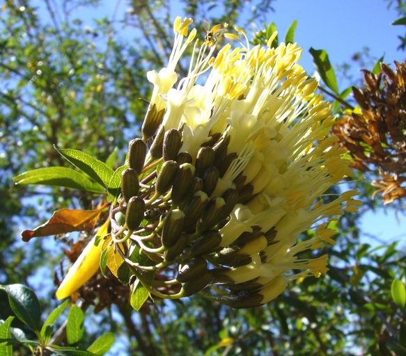 Image of <i>Cantua pyrifolia</i> Juss.