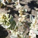 Image of <i>Atriplex leucophylla</i> (Moq.) D. Dietr.