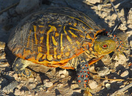 Image of Ornate Box Turtle
