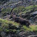 Image of <i>Capra <i>ibex</i></i> ssp. ibex