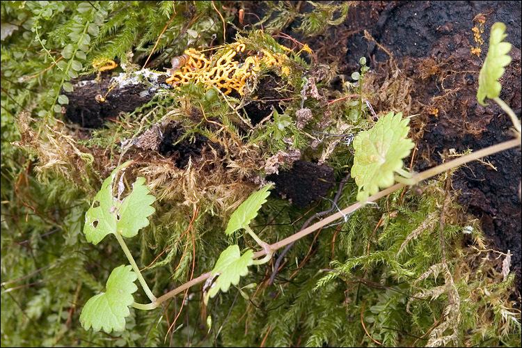 Image of Pretzel slime mold