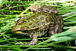 Image of chiricahua leopard frog