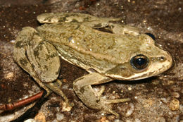 Image of Columbia Spotted Frog