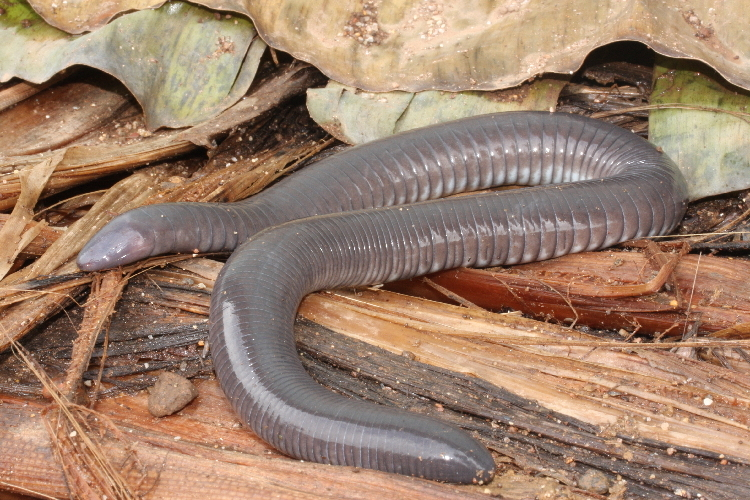 Image of Mexican Caecilian