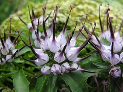 Image of Tufted Horned Rampion