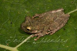 Image of Slender-legged Treefrog
