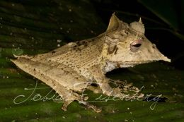 Image of Sumaco Horned Treefrog