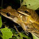 Image of <i>Boana lanciformis</i>