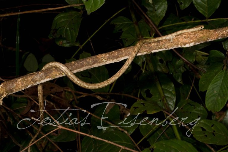 Image of Amazon Coastal House Snake