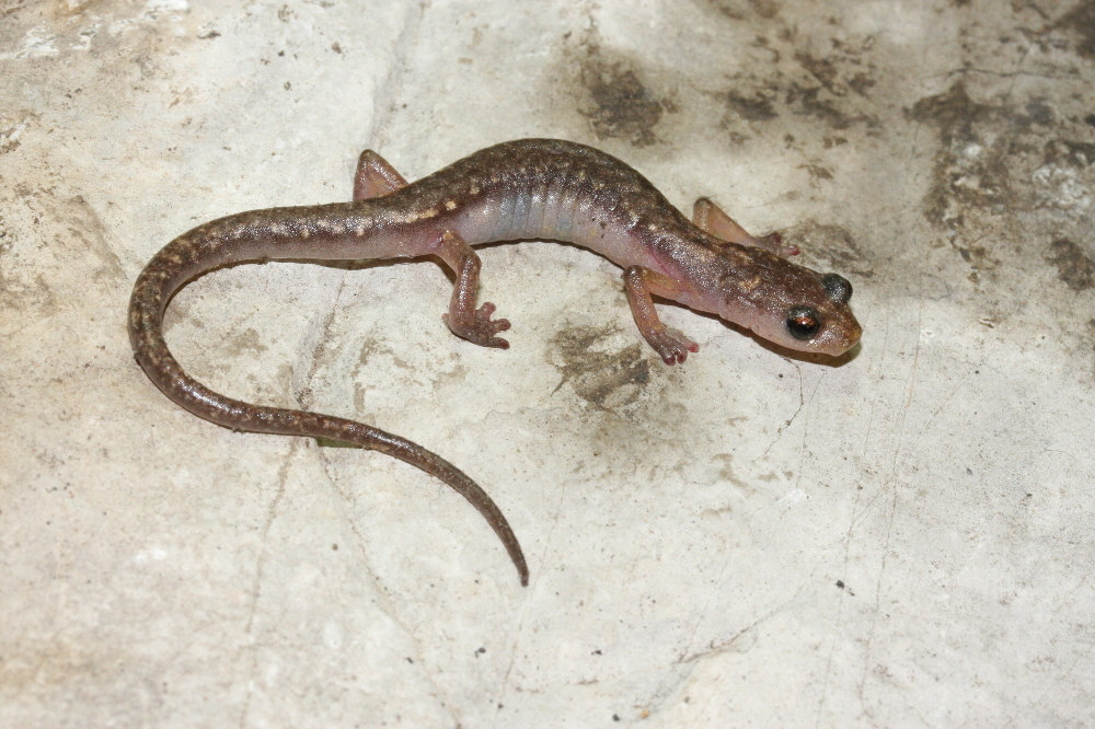 Image of Cave Splayfoot Salamander