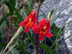 Image of Sticky monkey flower