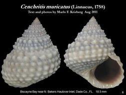 Image of <i>Cenchritis muricatus</i> (Linnaeus 1758)
