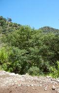 Image of <i>Quercus perpallida</i> Trel.