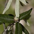Image of <i>Quercus durifolia</i> Seemen ex Loes.