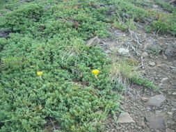Image of creeping juniper